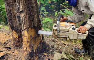 Chainsaw cutting trunk of a tree